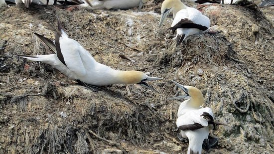 Havelock, New Zealand: Gannets