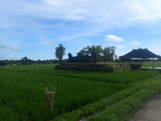 Bali Island Horse: Rice Paddy