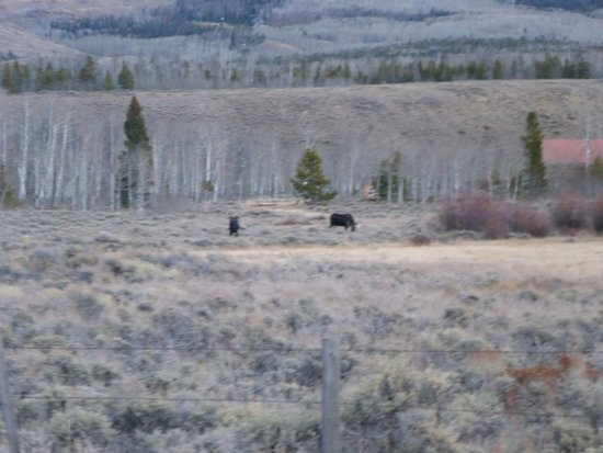 Rollinsville, CO: The Moose are Loose near the Hoouse !!