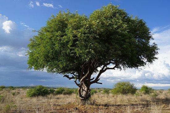 Iringa, Tanzania: Acacia tree, Ruaha National Park