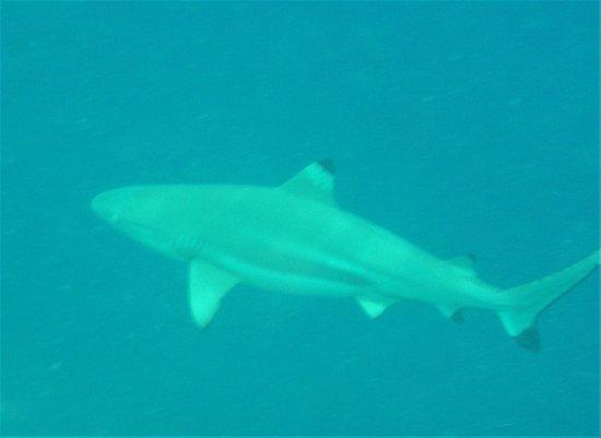 Uepi, Kepulauan Solomon: Snorkelling - shark
