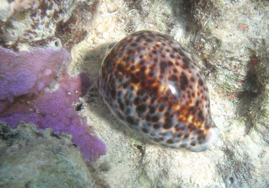 Uepi, Solomon Islands: Underwater shot -Cowrie shell