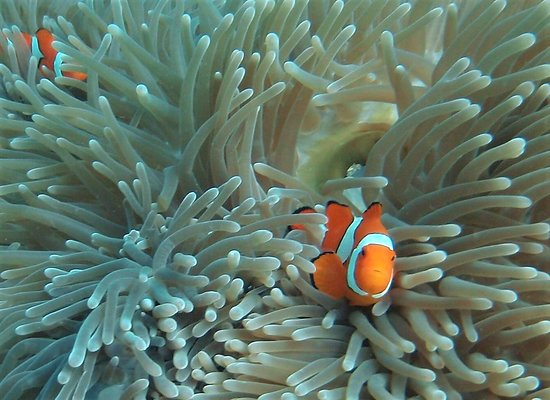 Uepi, Solomon Islands: Clown fish