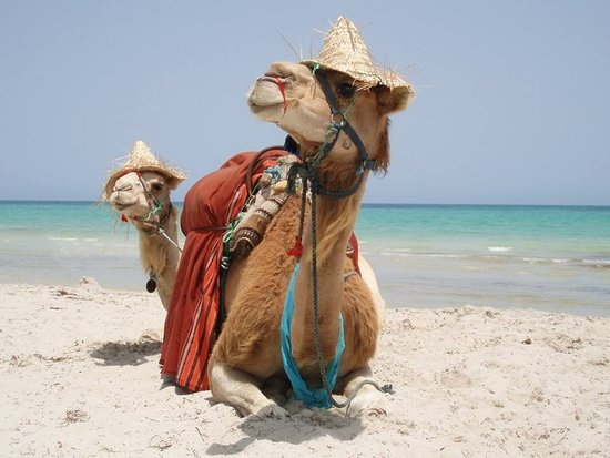 Playa Sidi Mehrez, Tunisia: Velbloudi na pláži