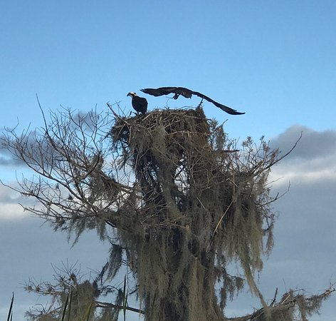 Stumpknocker Tours, Inc.: Mating Osprey on Cypress Tree Nest on Stumpknockers Tour