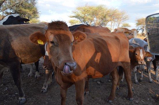 Okahandja, Namibia: Kuh auf der Haasenfarm