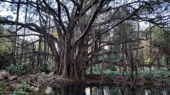 Alger, Argelia: Ficus macrophylla