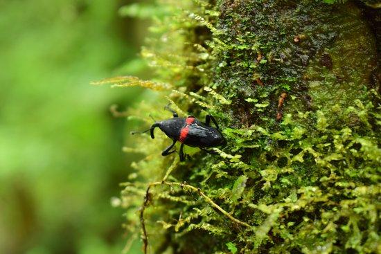 Tenorio Volcano National Park, Costa Rica: Escarabajo