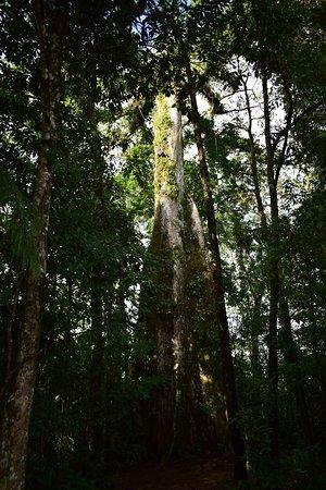 Tenorio Volcano National Park, Costa Rica: Unos km antes de llegar al parque se encuentra este enorme Ceiba!