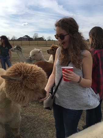 Adairsville, Τζόρτζια: Feeding the alpacas