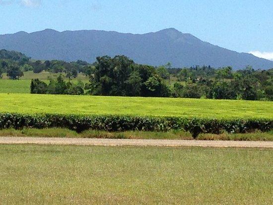 Malanda, Austrália: beautiful tea plantation at Narada