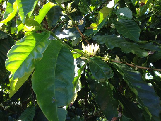 Mareeba, Australia: Coffee plant is a member of the Camelia family