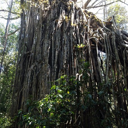 Yungaburra, Australia: A complete curtain of branches