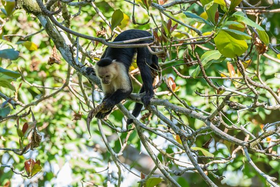 Bosque del Cabo Rainforest Lodge: capuchin looking for something tasty