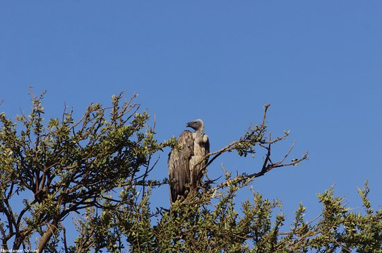 Eyes on Africa Safaris: White backed vulture
