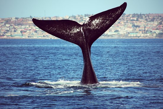 Mossel Bay, Sudáfrica:  Southern right Whale Tail