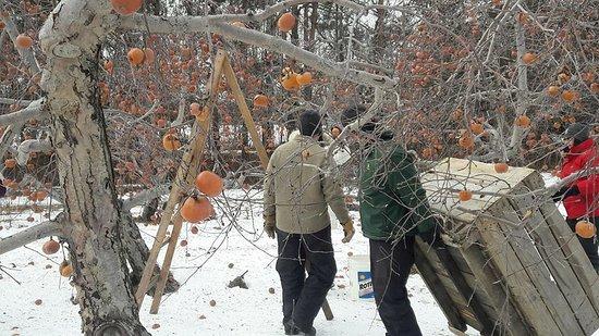 Mont-Saint-Hilaire, Canada : mise en place du bac pour récupérer le fruit de nos cueillettes glacées
