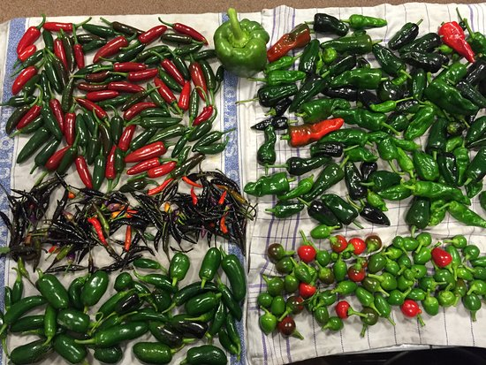 Newenden, UK: Our Chilli Harvest!