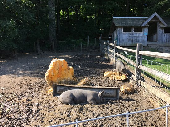 Shelburne, VT: Farm pigs