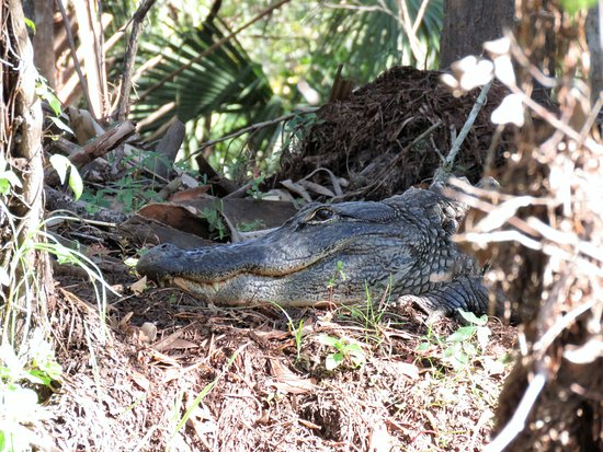 Palm Bay, FL: A very huge gator up on the banks of the creek