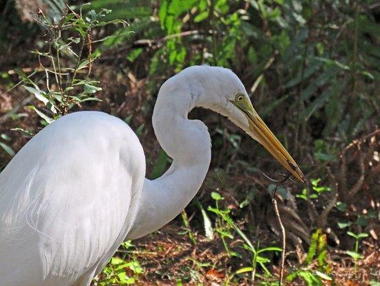 Palm Bay, FL: Egret with a lizard