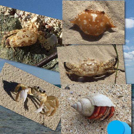 Barbary Beach : crabs