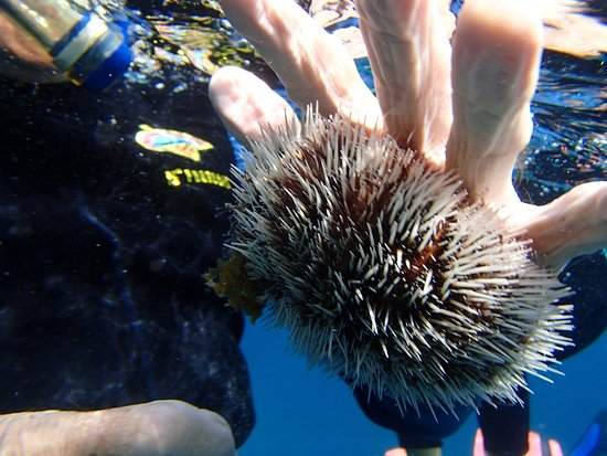 Gustavia, San Bartolomé: A sea urchin sticking with its suckers to Dave's hand... We put it back where we found it.