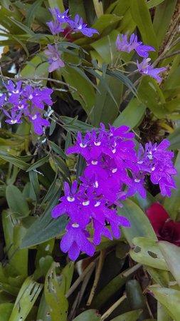 Santo Domingo de Heredia, Costa Rica: orchid in bloom
