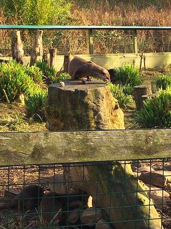 Washington, UK: Otters!