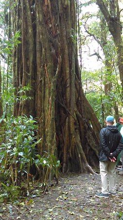 Monteverde Cloud Forest Reserve, Costa Rica: primary forest tree with strangler fig wrapped around it