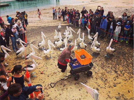 Phillip Island, Australien: Pelican Feeding at San Remo Beach