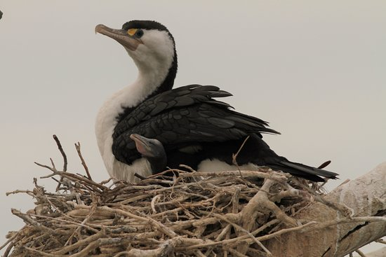 Blenheim, Nouvelle-Zélande : Cormorant and chick