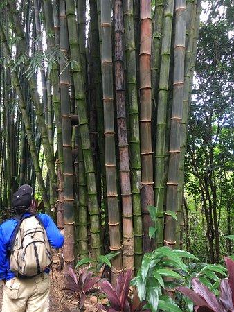 Haiku, HI: bamboo