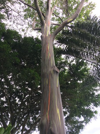 Haiku, HI: Rainbow eucalyptus tree