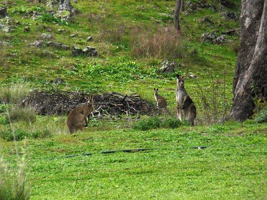 Mudgee, Australia: Kangaroos