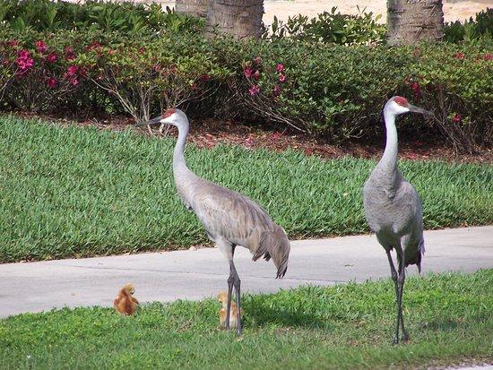 Deltona, FL: По дорогам запросто ходят семейства журавлей.