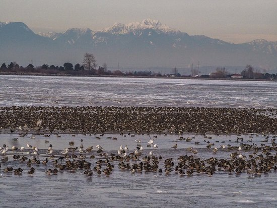 Delta, Canada: Flocks of birds on the flats