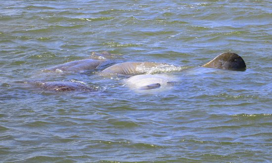 Fort Caroline National Memorial: Manatees in the St. Johns River, as seen from the Ft Caroline N.M. boat dock in Jacksonville