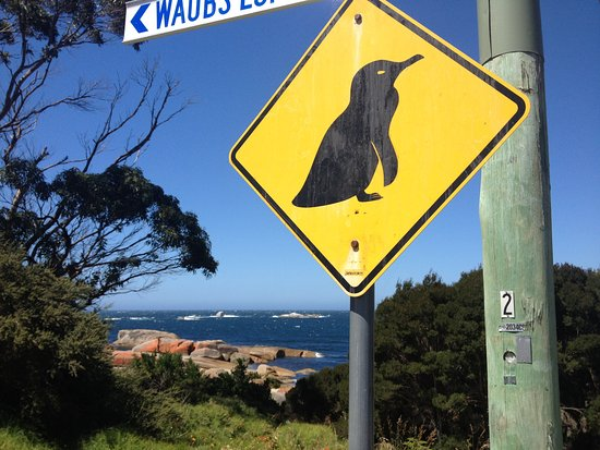 Bicheno Blowhole : Penguins!