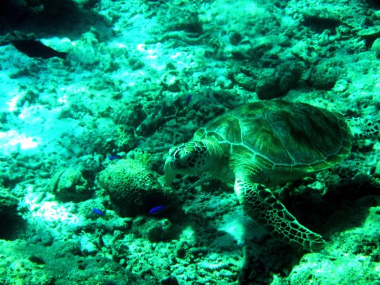 Semporna District, Malesia: Turtle, the frequent visitor to Mataking Island
