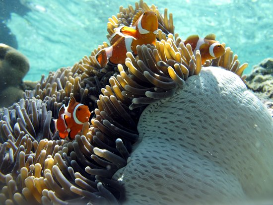 Semporna District, Malaysia: Nemo with their home in Mataking Island