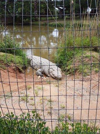 Scottburgh, Güney Afrika: massive croc