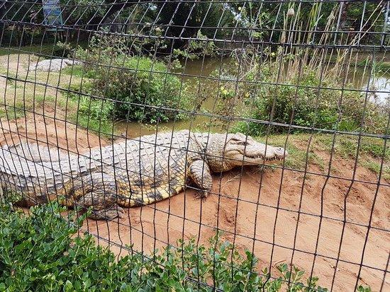 Scottburgh, Güney Afrika: croc