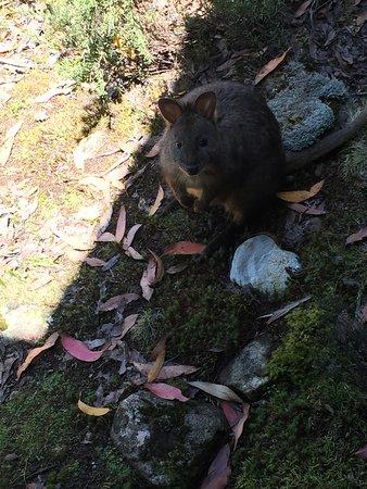 Cradle Mountain Wilderness Village: Animals roaming around cabin - awesome!