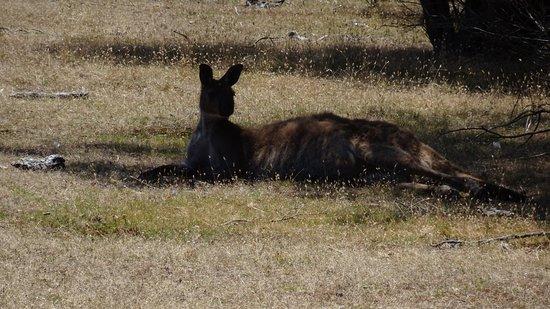 Hanson Bay, Australia: Kangaroo resting