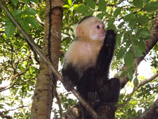 West End, Honduras: the monkey coming through the trees