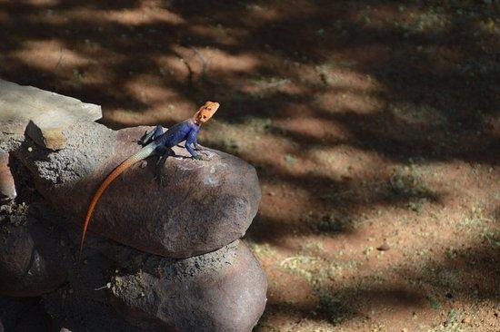 Solitaire, Namíbia: ein Salamander