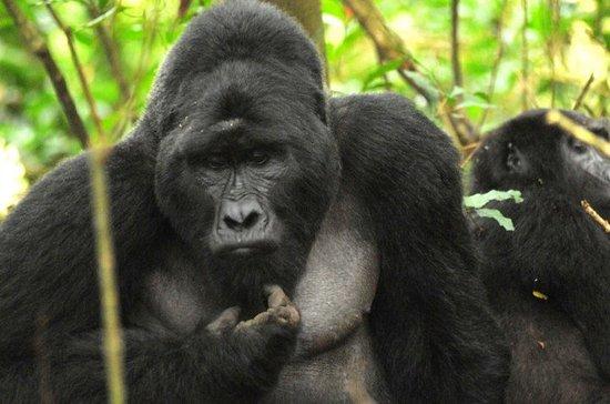 Bwindi Impenetrable National Park, Uganda: Gorilla trekking is the main activity in Bwindi. It is a treasure hiding lots of biodiversity of