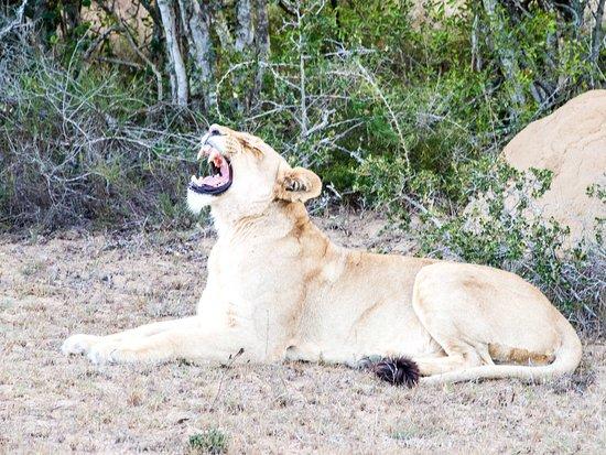 Addo Elephant National Park, Sudáfrica: Gähnende Löwin