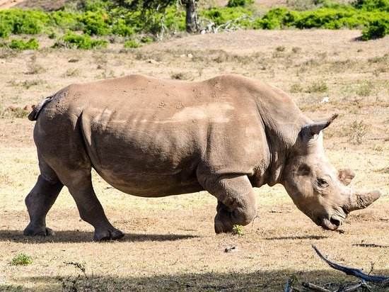 Addo Elephant National Park, Sudáfrica: Nashorn